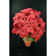 Red Micro Peach Poinsettia Bush x24  (Lot of 1) SALE ITEM