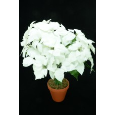 White Micro Peach Poinsettia Bush x24  (Lot of 1) SALE ITEM