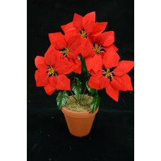 Red Micro-Peach Poinsettia Bush x 5 with Gold Stamens (lot of 1 bush) SALE ITEM