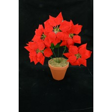 Red Micro-Peach Poinsettia Bush x 5 (lot of 1 bush) SALE ITEM
