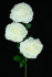 Ivory Open Rose Bush x3  (Lot of 12) SALE ITEM