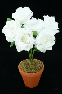 White Open Rose Bush x6  (Lot of 12) SALE ITEM