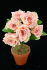 Pink Open Rose Bush x6  (Lot of 12) SALE ITEM