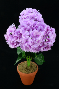 Purple Hydrangea Bush x7  (Lot of 1) SALE ITEM