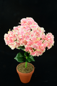Pink Hydrangea Bush x7  (Lot of 1) SALE ITEM