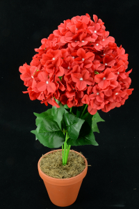 Red Hydrangea Bush x7  (Lot of 1) SALE ITEM