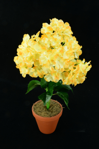 Yellow Hydrangea Bush x7  (Lot of 1) SALE ITEM