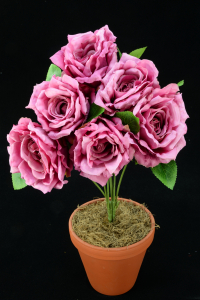 Mauve Open Rose Bush x6  (Lot of 1) SALE ITEM